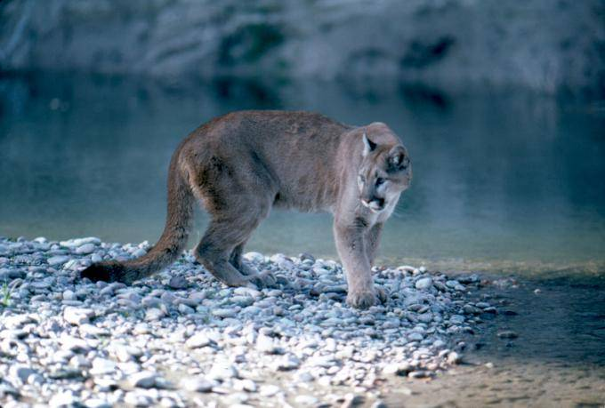 Mountain_Lion_in_Grand_Teton_National_Park