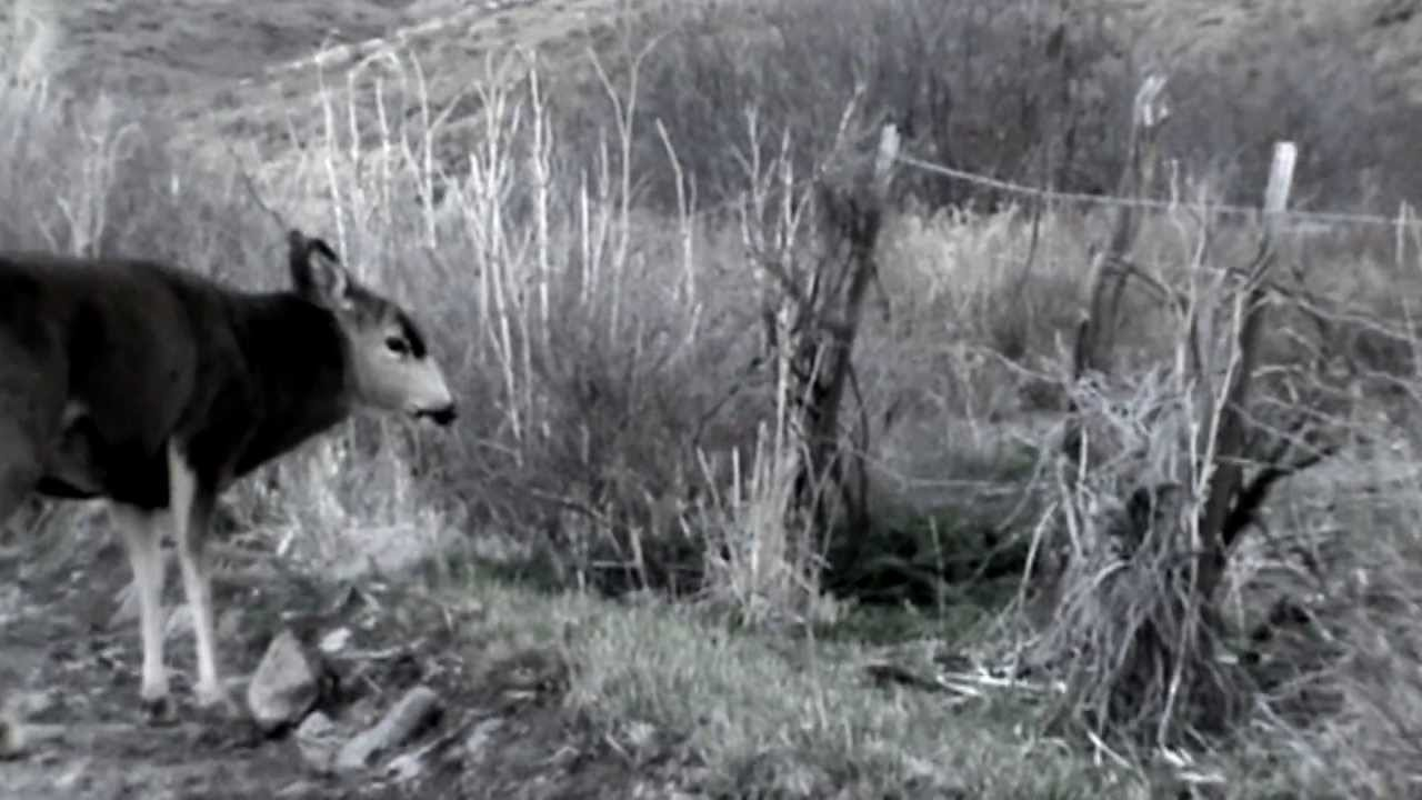 Antlerless Buck Battles Rival with Full Rack, Guess Who Wins [VIDEO]
