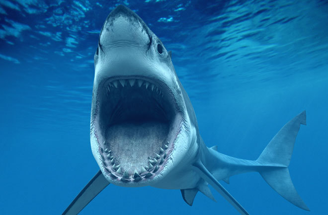 great-white-shark-660x433