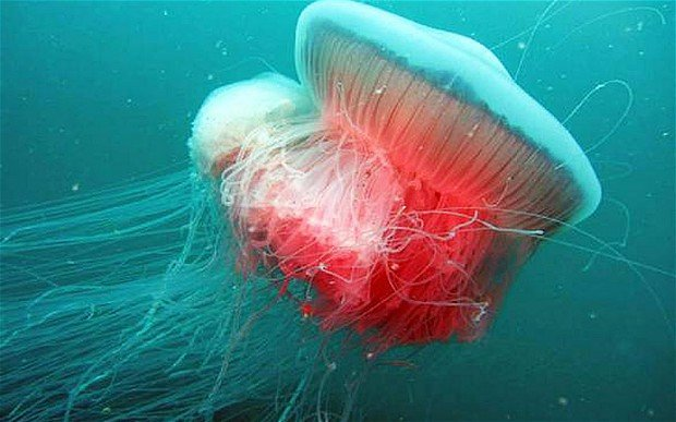 Giant jellyfish spotted in the Adriatic for first time since Second World War