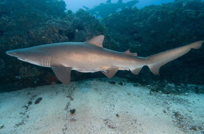 tiger-shark-670