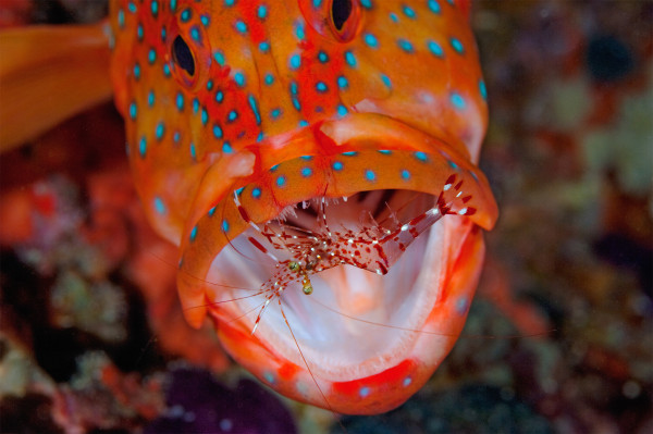 Coral Grouper with Cleaner Shrimp