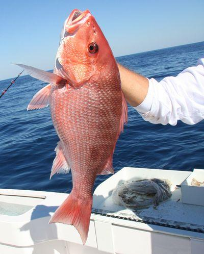 TF&G RED SNAPPER -2