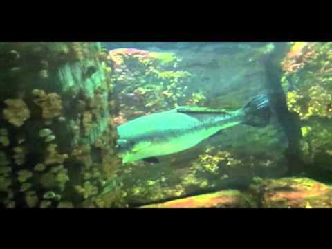 Are big fish designed to save their energy? (video)