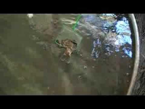 Bass eats massive bluegill (video)