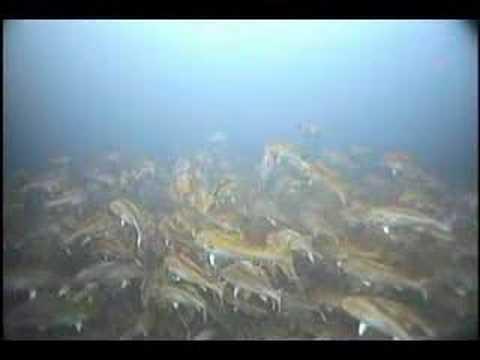 Video: GIGANTIC redfish school!