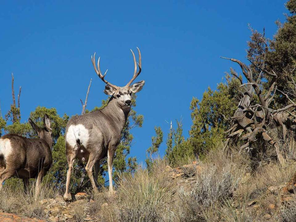 muley deer