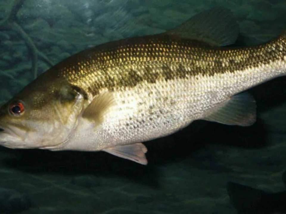 largemouth bass freshwater