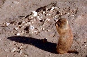 blacktailed_prairie_dog_standing