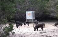 Air Gun Hogs and Exotics