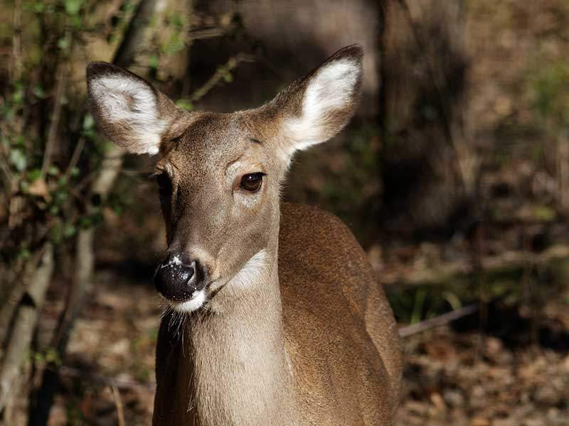 First Case of CWD Detected in Free-Ranging Texas Whitetail