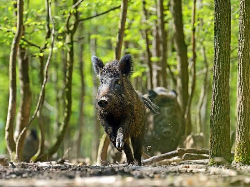 More on Hog Poison