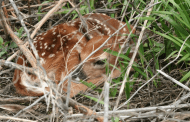 Fawn deaths skyrocket nationwide