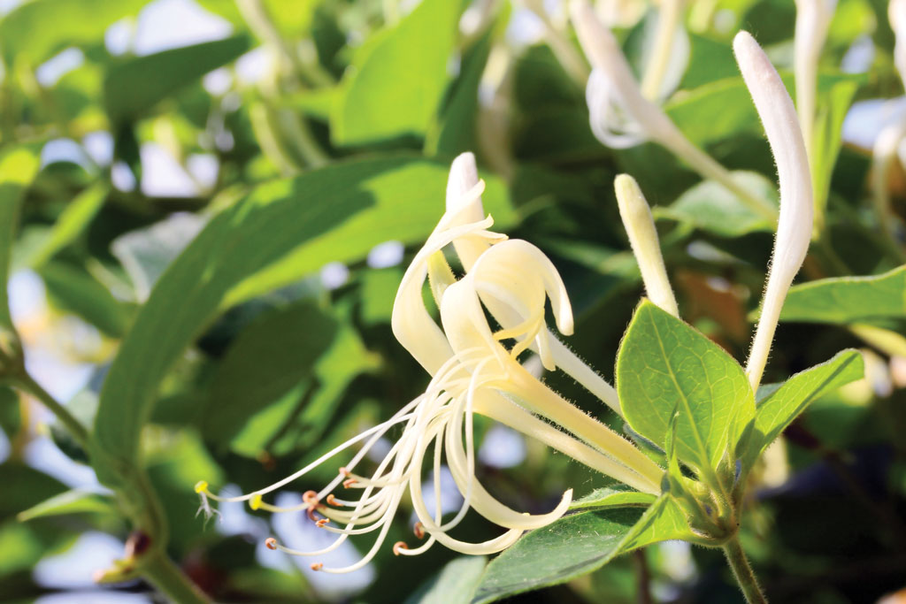 "Honeysuckle, a late-fruiting natural plant, is ""ice cream"" to Texas deer."