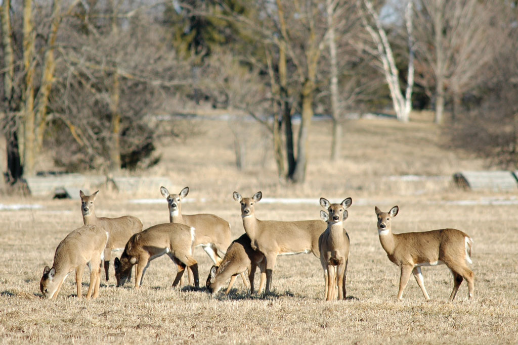 Shooting does is the key to managing for herd reduction.