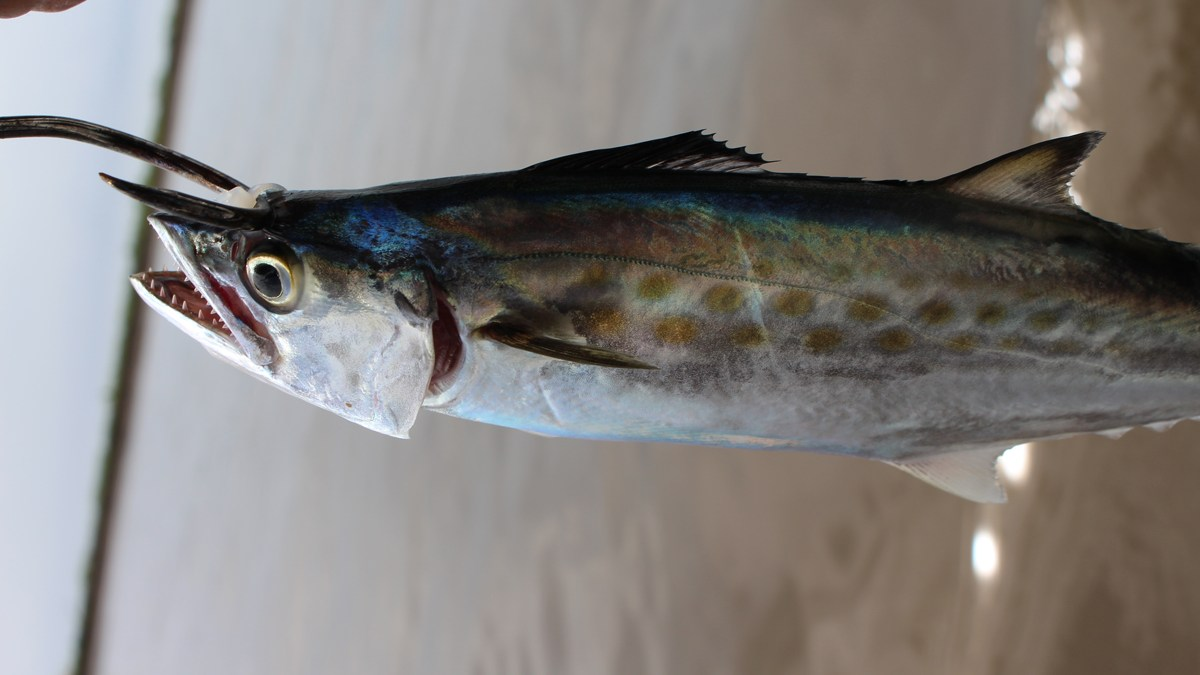 spanish mackerel bait