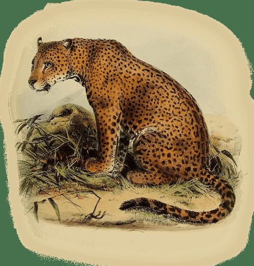 western Mexican jaguar
