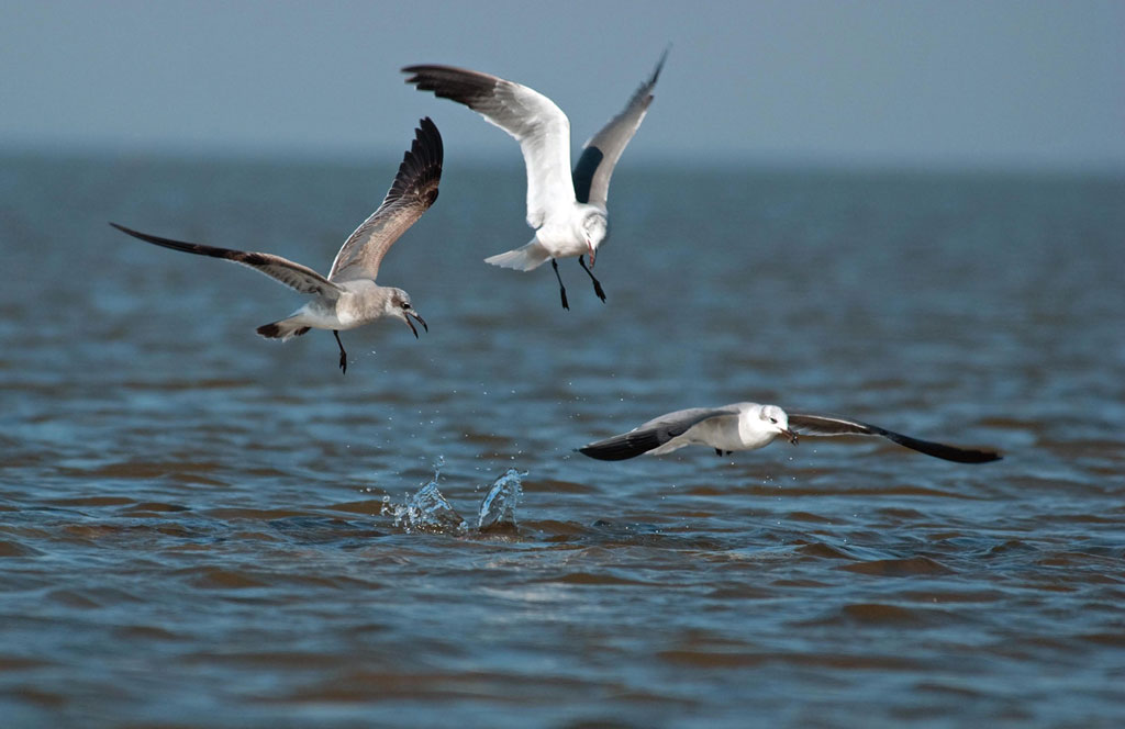 Excited laughing gulls picking up shrimp over redfish.