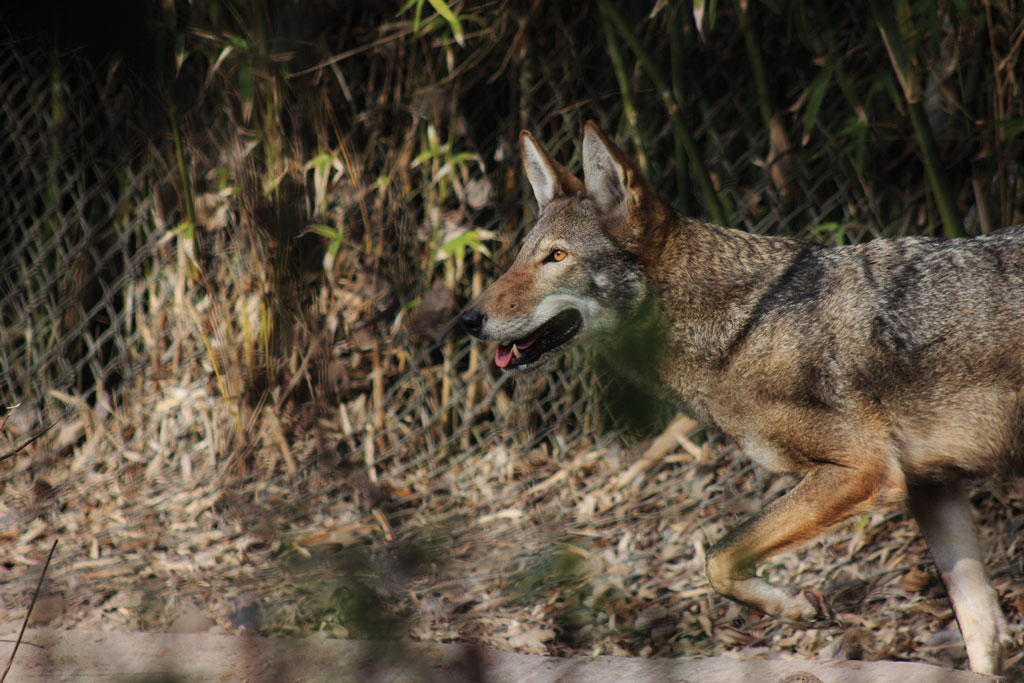 This red wolf is part of the federal captive breeding program at The Texas Zoo in Victoria.
