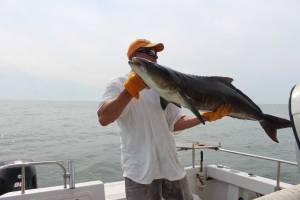 chumming for cobia