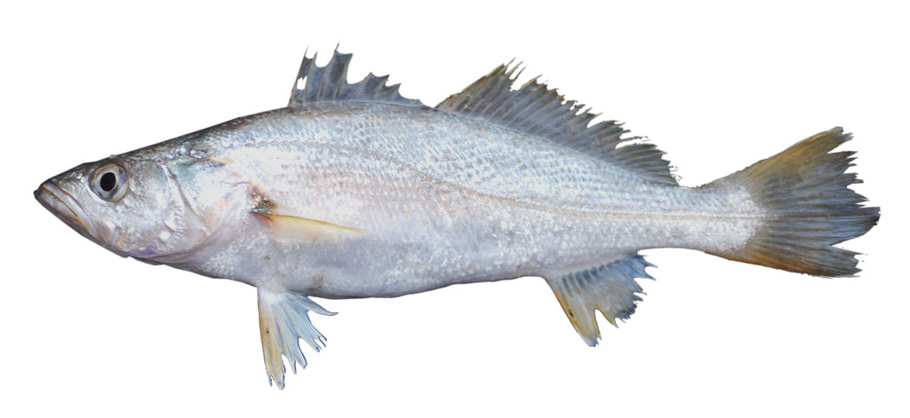 Cynoscion arenarius, a.k.a. sand trout.