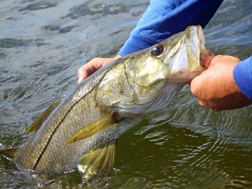 An angler pulling Snook out of the water