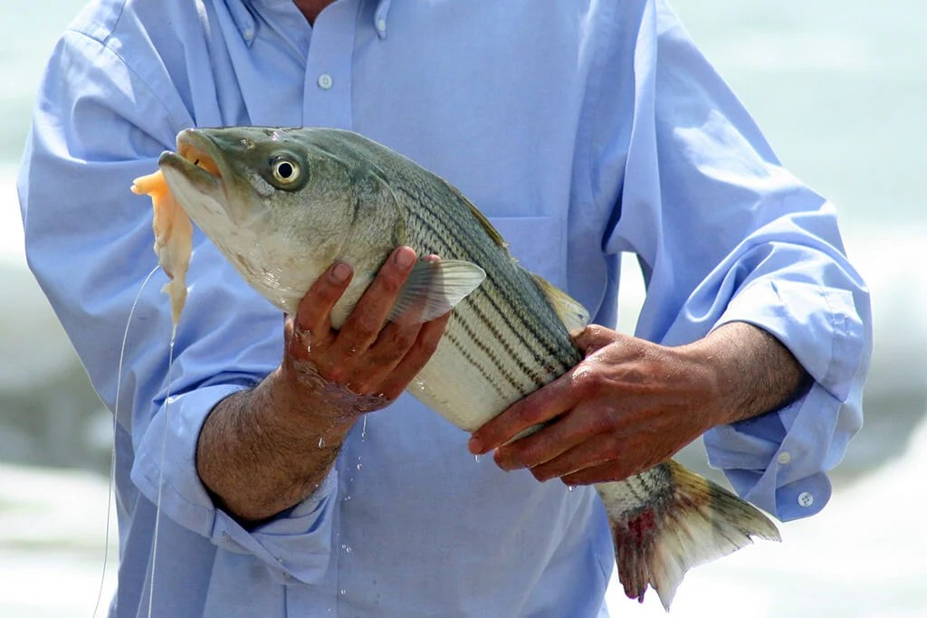 A Striped Bass held by an angler with squid hanging out of its mouth
