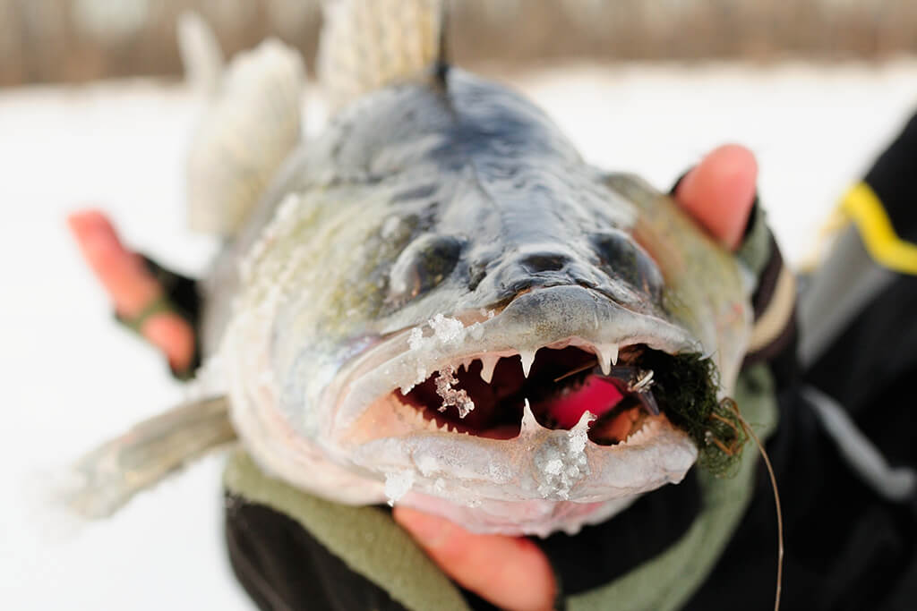 A face-on view of a Walleye with an artificial fishing bait in its mouth, with snow and ice in the background
