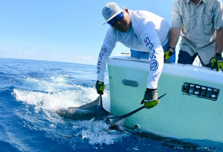 Catch and release fishing: A man in a white shirt and cap releasing a blue marlin from the side of a boat