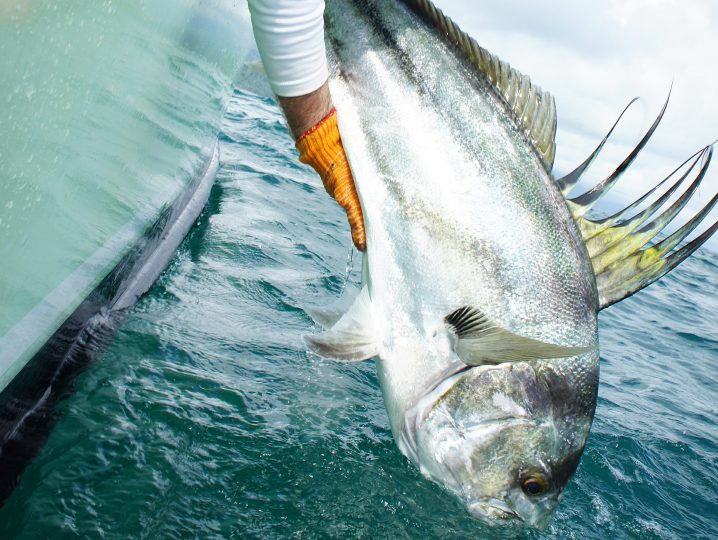A Roosterfish being released back into the water after being caught
