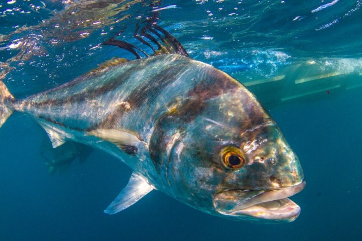 a Roosterfish underwater with the hull of a boat behind it