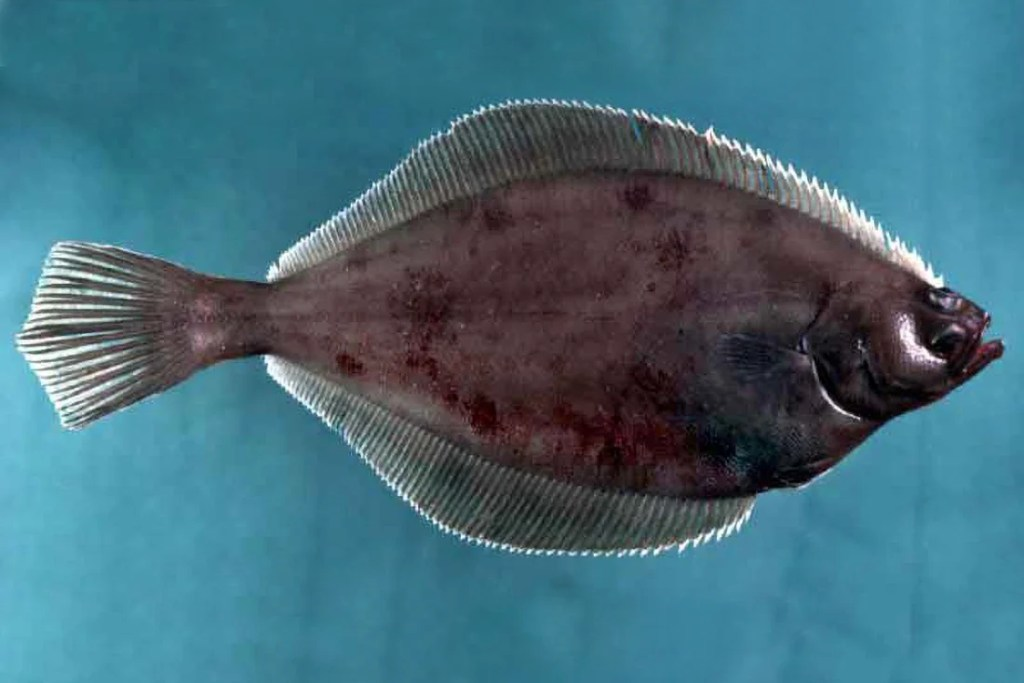 An American Plaice fish on a blue background