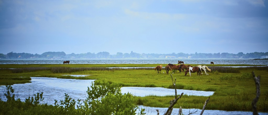horses in the Assateague State Park, with the Sinepuxent Bay in the background, Maryland