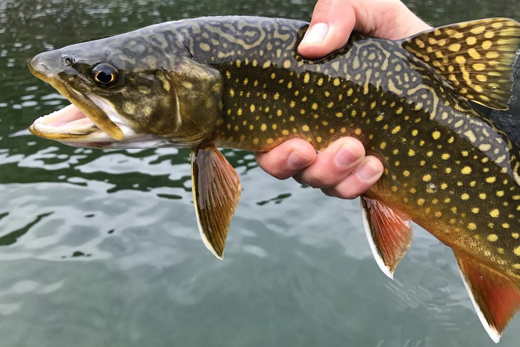 Brook Trout Vs Brown Trout A Simple Guide