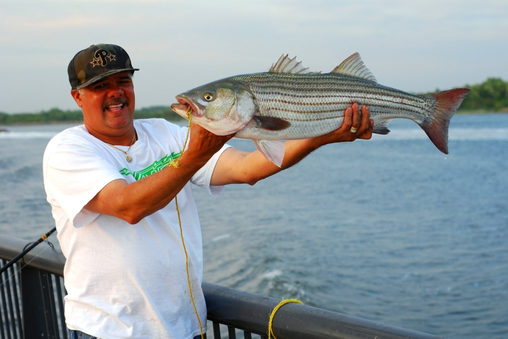 An angler in a white shirt and cap holding up a Striped Bass he caught while pier fishing