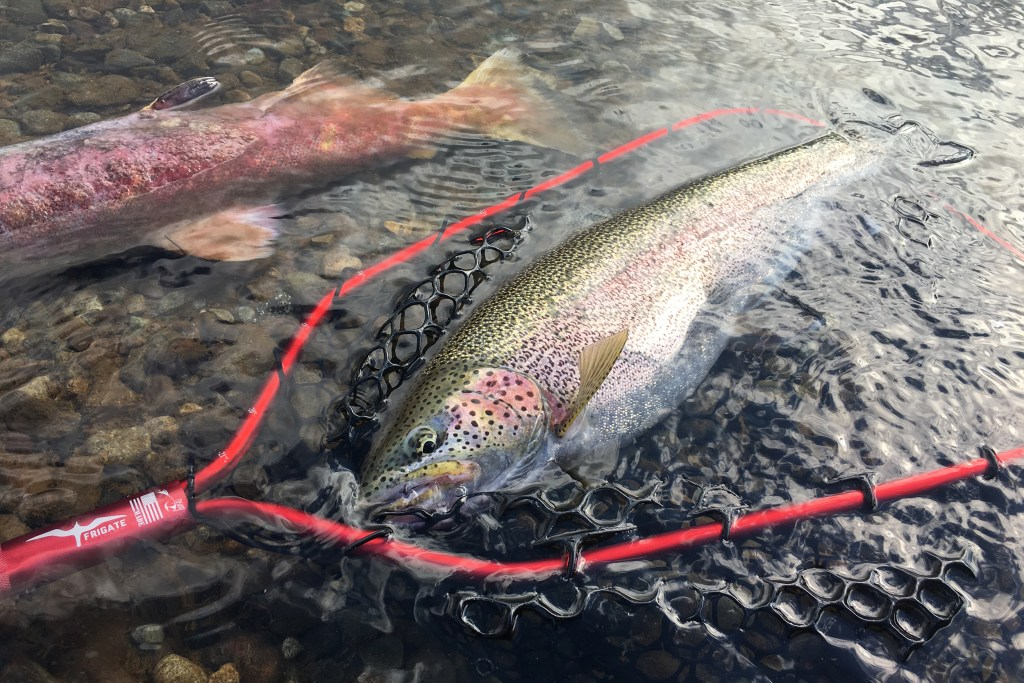 A large Rainbow Trout in a catch next in shallow water, with a Salmon next to it in the top left