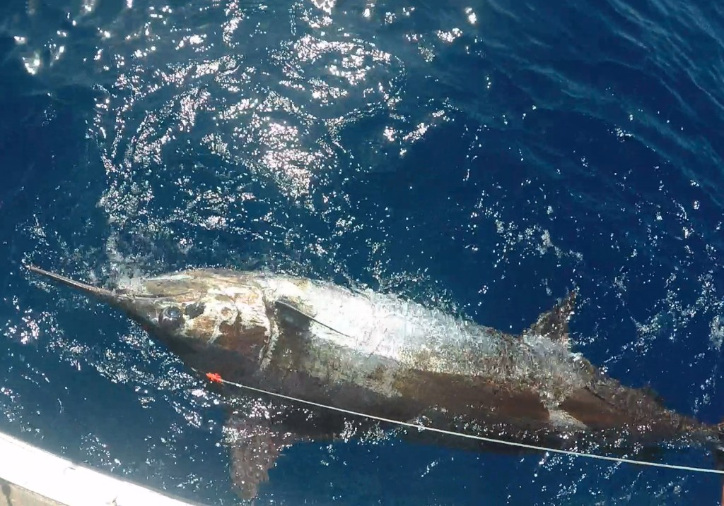 Huge Marlin in the water next to a boat