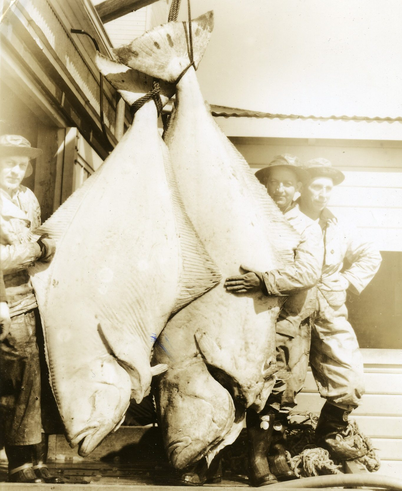 two giant Halibut in the 1930s, Petersburg, Alaska - Flickr CC BY 2.0