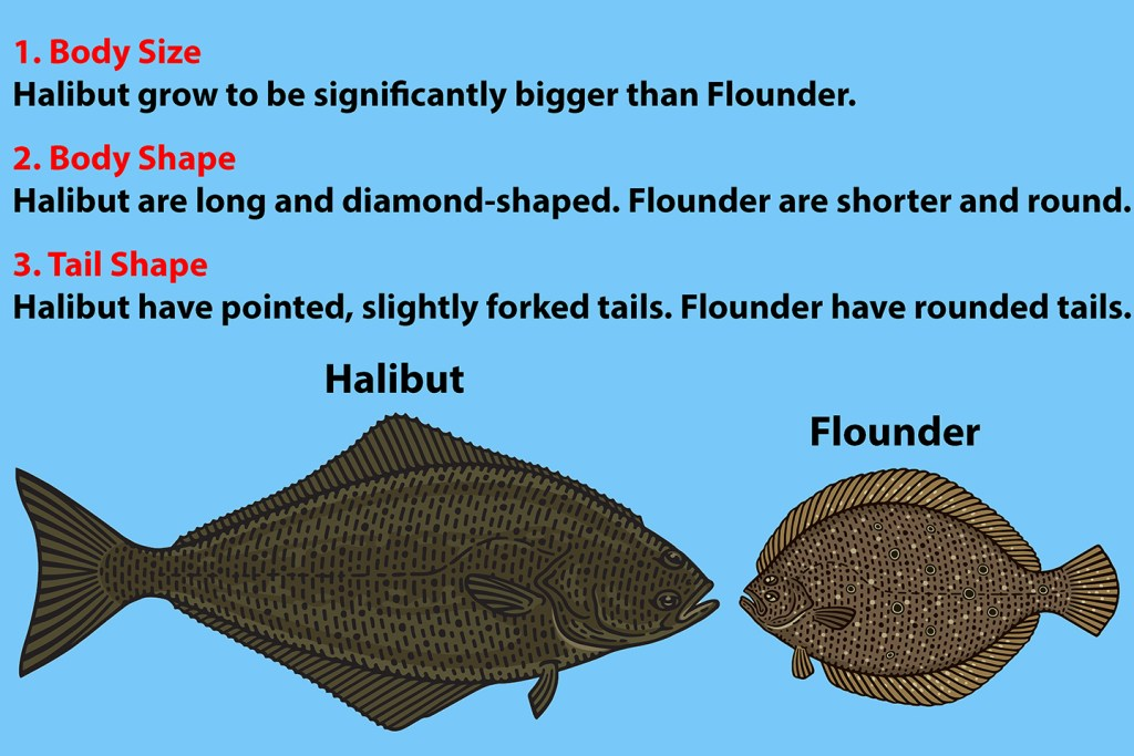 """A diagram showing how to identify Halibut vs Flounder. There is an illustration of a Halibut and a Flounder at the bottom. Above is written: """"1. Body Size: Halibut grow to be significantly bigger than Flounder. 2. Body Shape: Halibut are long and diamond-shaped. Flounder are shorter and round. 3. Tail Shape: Halibut have pointed, slightly forked tails. Flounder have rounded tails."""""""