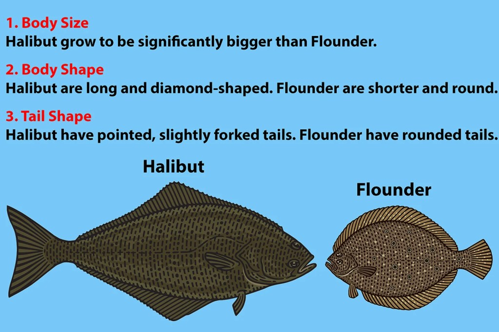 "A diagram showing how to identify Halibut vs Flounder. There is an illustration of a Halibut and a Flounder at the bottom. Above is written: ""1. Body Size: Halibut grow to be significantly bigger than Flounder. 2. Body Shape: Halibut are long and diamond-shaped. Flounder are shorter and round. 3. Tail Shape: Halibut have pointed, slightly forked tails. Flounder have rounded tails."""