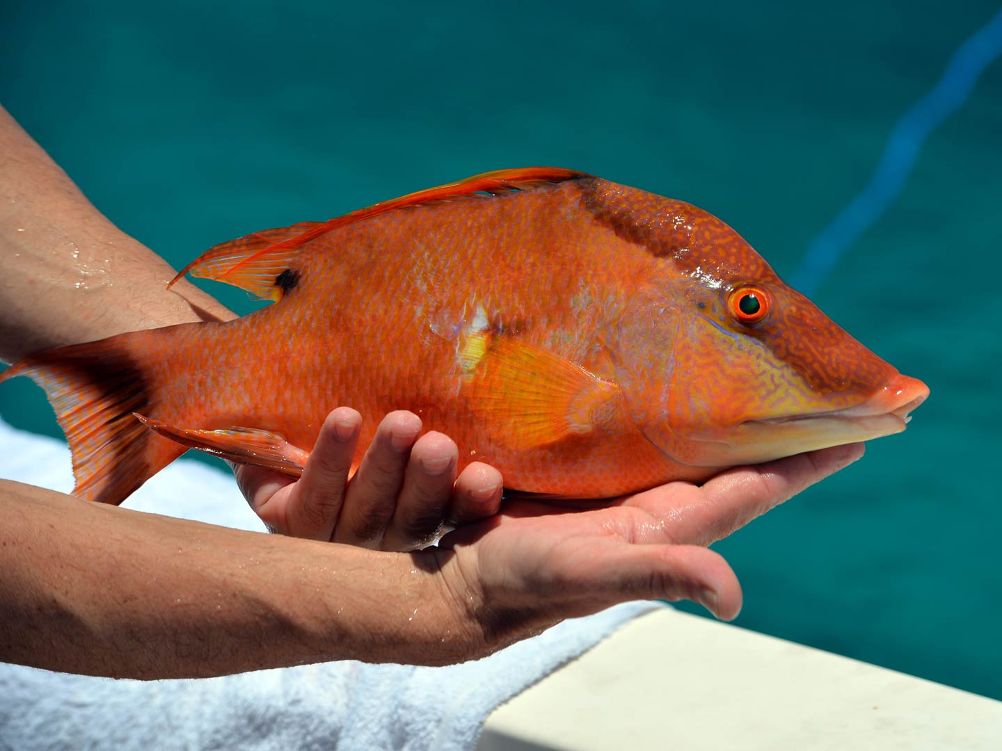 Hands holding a Hogfish on a boat