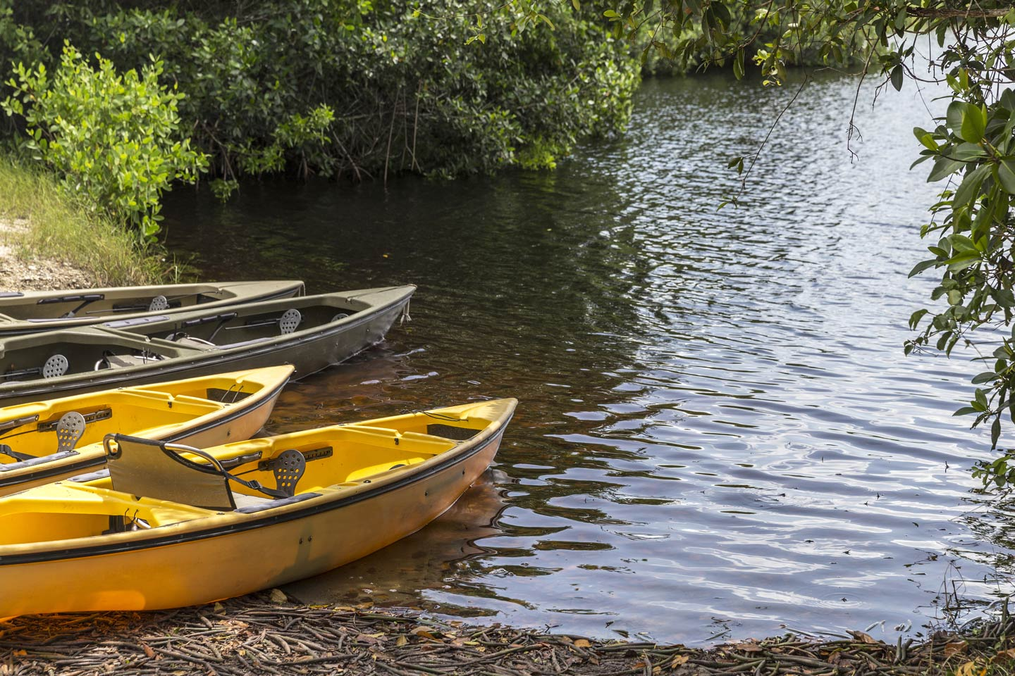 Kayaks resting along the bank of Florida's mangrove waters