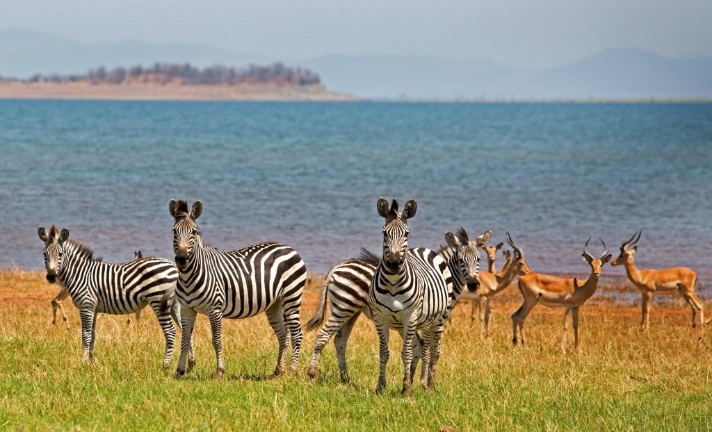 zebras standing in front of the Lake Kariba in Zambia