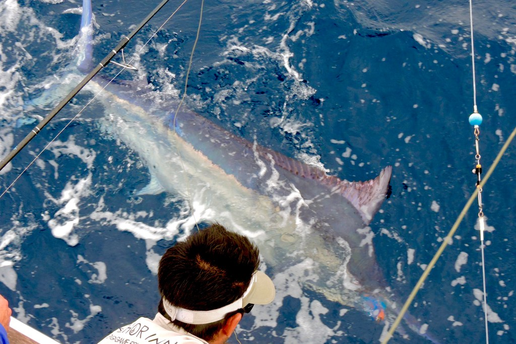 A Black Marlin in the water next to an angler. The fish has just been caught and is about to be released