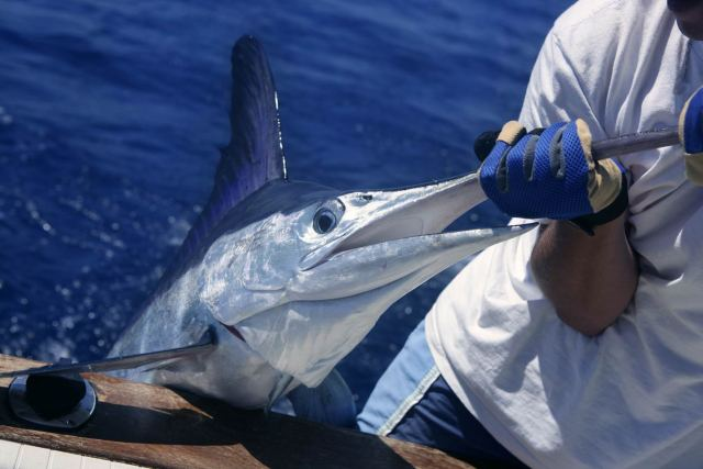 A fishing tournament participant holds the bill of a Marlin so it can be recorded