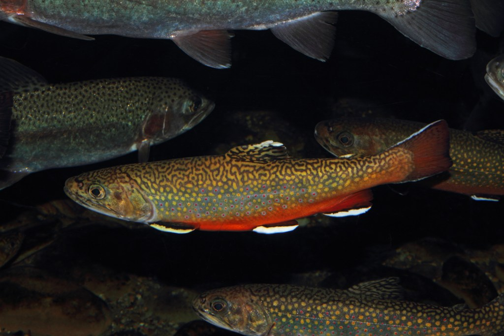 A brook trout swimming underwater among other trouts