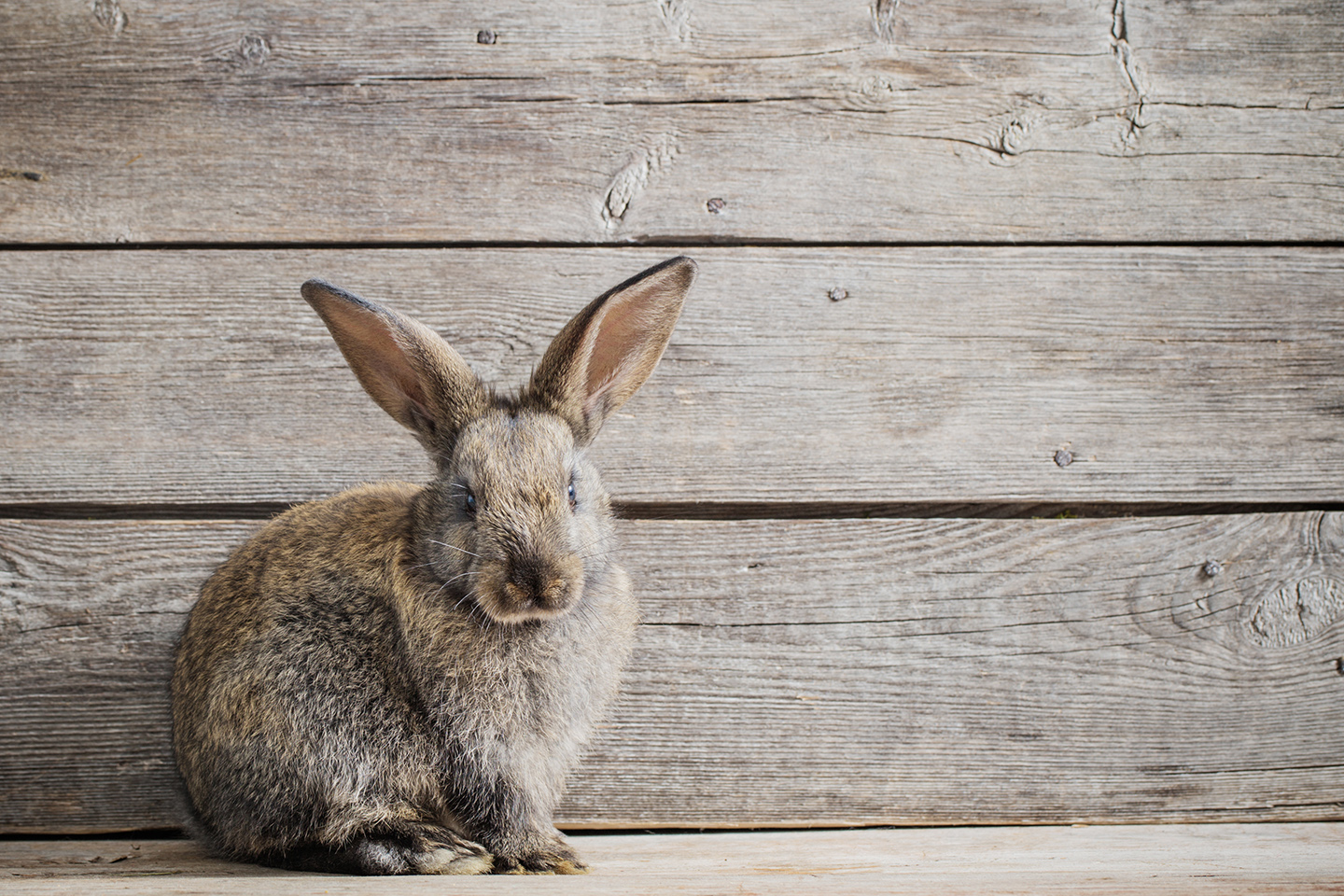 A rabbit posing with wooden panels behind it