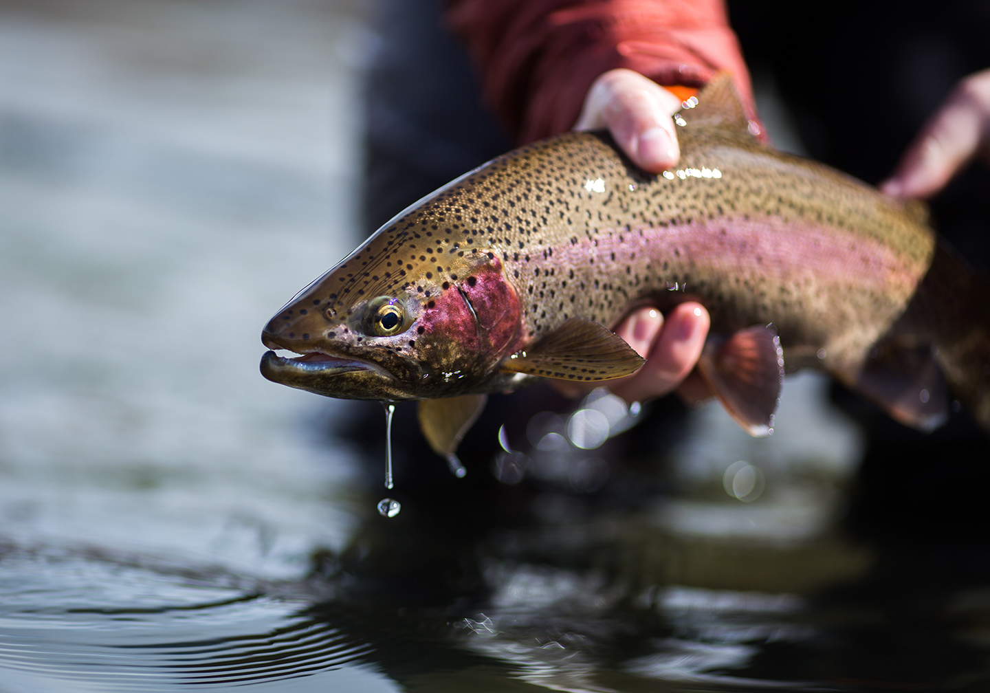A Rainbow trout being held just out of the water before being released.