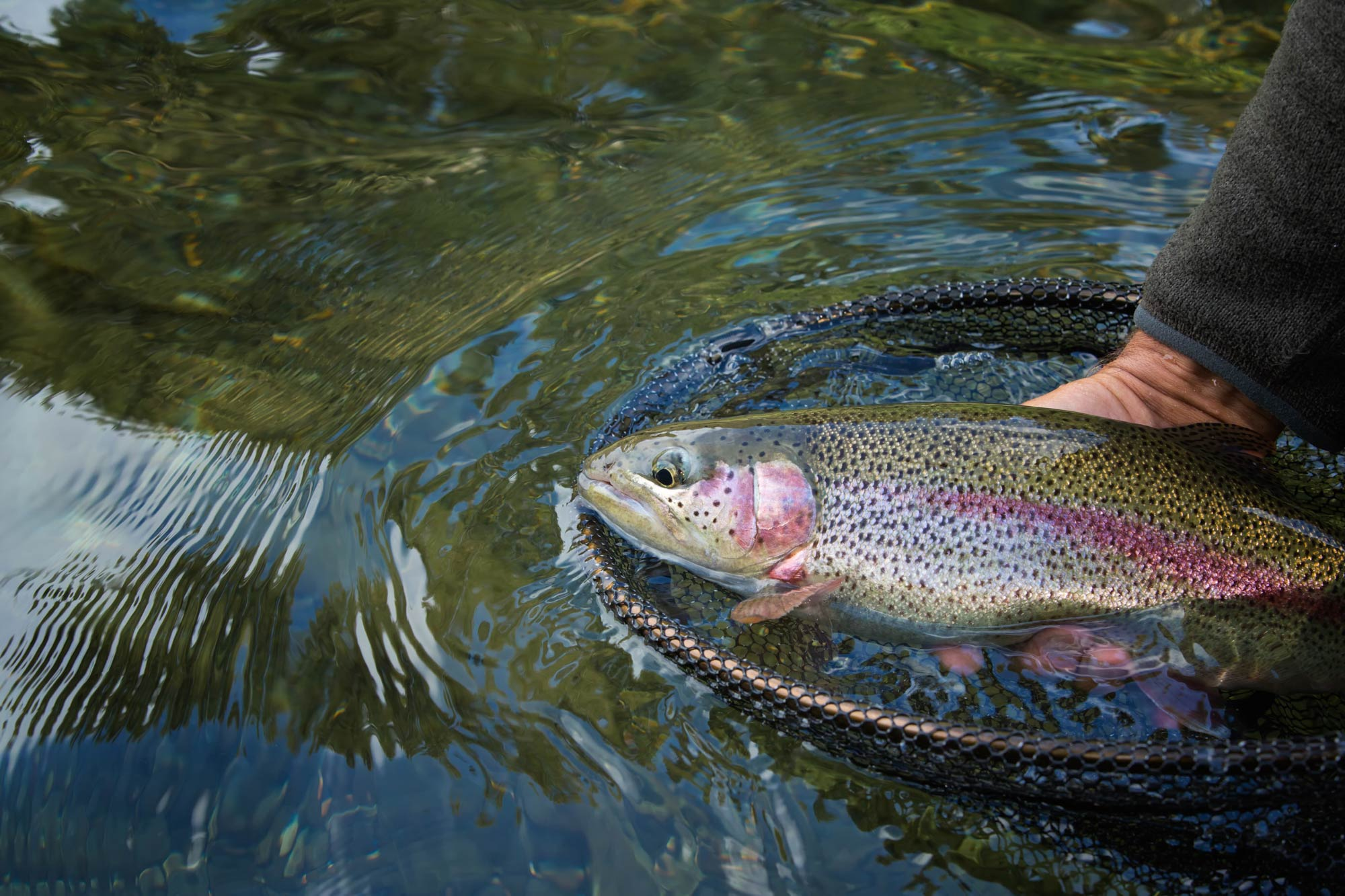 A fisherman holding a Rainbow Trout and pulling it out of the water with a net