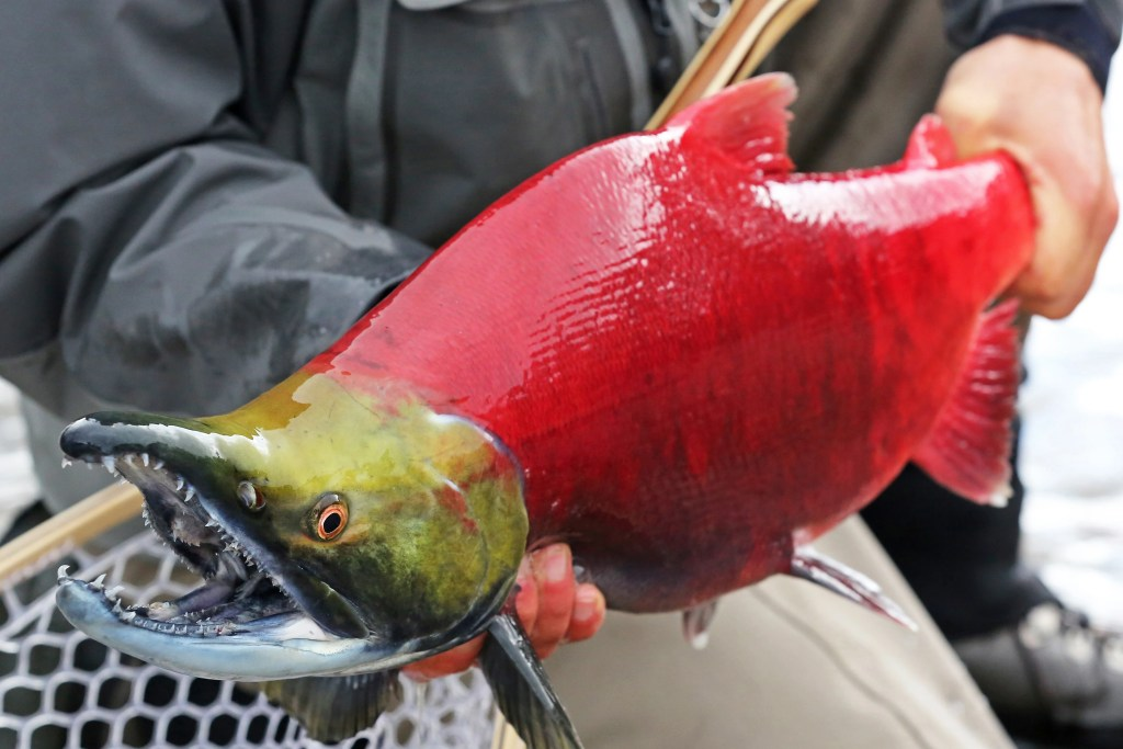 A sockeye salmon in its spawning colors, with a red body and a green head. The fish is being held by an angler in a black jacket, with a catch net in the bottom left.